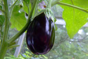 Il faut compter un délai de 4 à 5 mois entre le semis et la récolte des premiers fruits