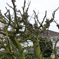 La taille rend les arbres (ici des pommiers) plus vulnérables aux champignons.