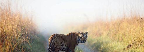 Un tigre mangeur d'hommes terrorise la population en Inde