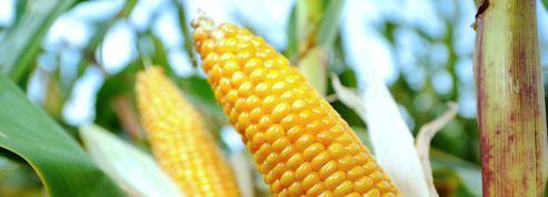 OGM : le gouvernement promet un nouveau texte d'interdiction