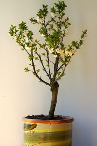 Un cerisier nain.