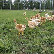 Le poulet du futur adapté au réchauffement climatique