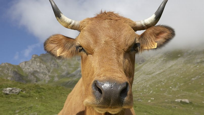 Salon de l 39 agriculture une vache tarentaise en vedette for Vache salon de l agriculture
