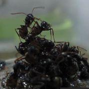 Comment les fourmis évitent la noyade