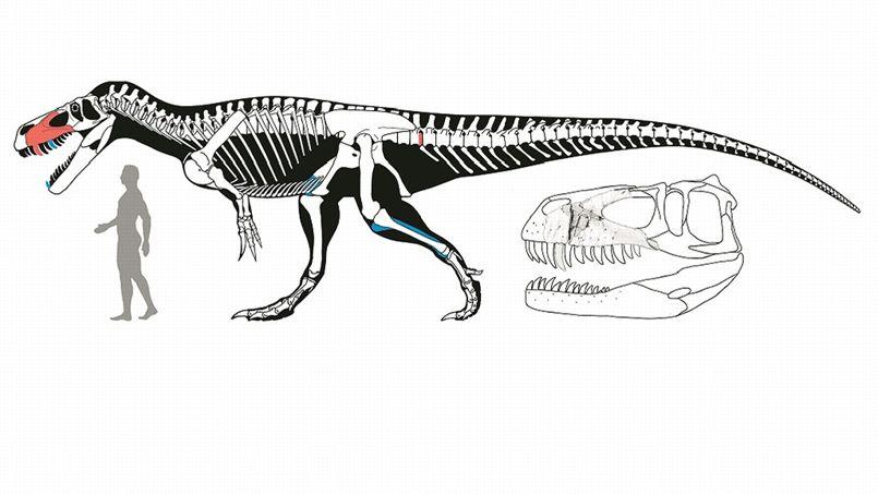 C'est à partir de deux parties du squelette (en rouge) que le paléontologue a identifié l'espèce.