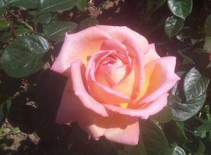 Sans taille, pas de belles roses.
