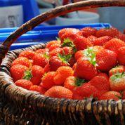 Bras de fer entre Auchan et les producteurs de fraises