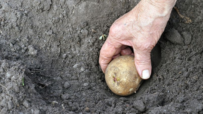 Plantez les pommes de terre, germes vers le haut, à 10-15 centimètres de profondeur.