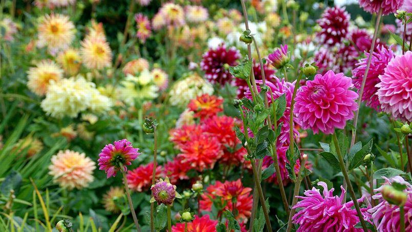 Contrairement à une idée reçue, la floraison d'un dahlia n'est pas proportionnelle à la taille de ses tubercules, c'est même plutôt l'inverse.