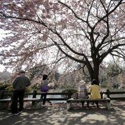 À Tokyo, les cerisiers sont en fleurs