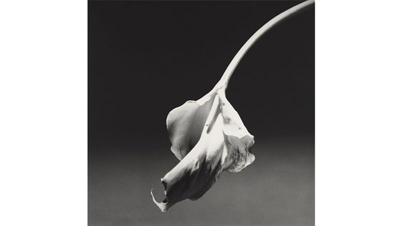 Robert Mapplethorpe, Calla Lily, 1986
