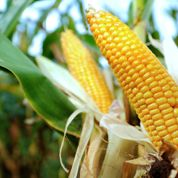 L'Assemblée nationale interdit le maïs transgénique