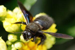 L'abeille charpentière.