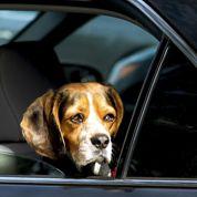 Chats et chiens : le mal des transports pendant les voyages