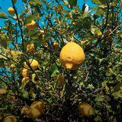 Le citron de Syracuse, l'agrume star de la saison