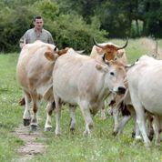 Les éleveurs bovins «en guerre» contre la grande distribution