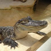 Un Alligator Park pour les 25 ans de l'Aquarium du Périgord Noir