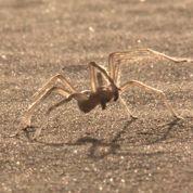 Une araignée acrobate découverte dans le désert