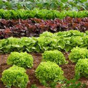 Toshiba se lance dans la culture de salades