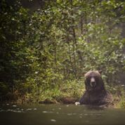 Des ours mâles adeptes de la fellation