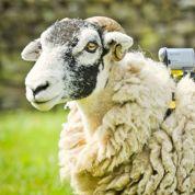 Des moutons pour filmer le Tour de France