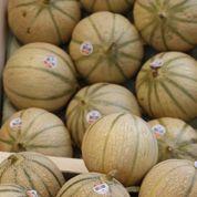 Les melons français sont trop peu nombreux