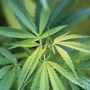 Moody's redoute l'overdose fiscale sur la marijuana