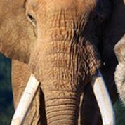 Cancers: pourquoi petits et gros mammifères sont à égalité