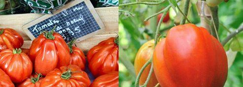 Recherche tomate «Cœur de bœuf», désespérément…