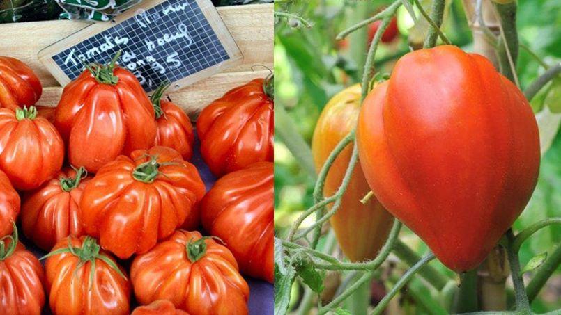 Recherche tomate c ur de b uf d sesp r ment - Planter des tomates coeur de boeuf ...