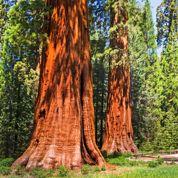 Dans les forêts cathédrales de Californie
