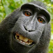 Le selfie d'un singe au cœur d'une bataille de droit d'auteur
