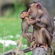 Luc Ferry : non, le singe n'est pas l'égal de l'homme