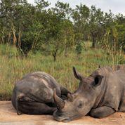 Braconnage : l'Afrique du Sud va évacuer des rhinocéros