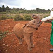 Les éléphants en fort déclin en Afrique
