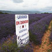Double menace sur la lavande provençale