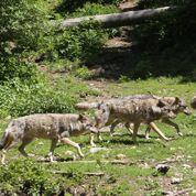 Quatre cents loups font des ravages dans nos campagnes