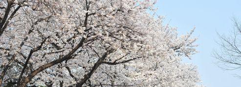 Comment un cerisier a inspiré la création du judo