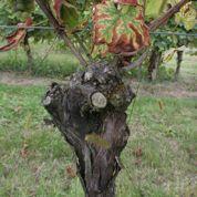 Les maladies du bois menacent le vignoble français