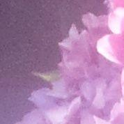 Hortensia : comment obtenir de belles fleurs mauves et bleues