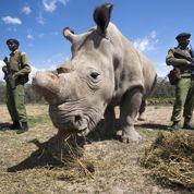 Le rhinocéros blanc du Nord va bientôt disparaître