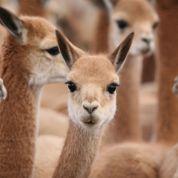 La vigogne, un luxe fragile