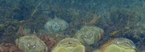La copulation, une invention des poissons vieille de 400 millions d'années