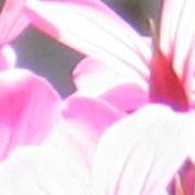Géraniums : n'attendez pas qu'il gèle pour les rentrer