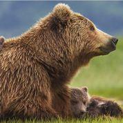 Grizzly : ne pas vendre la peau de l'ours avant de l'avoir vu
