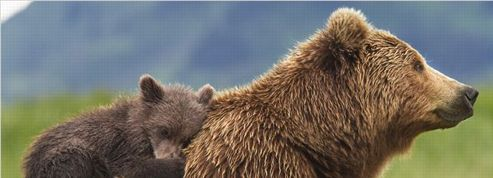 grizzly ne pas vendre la peau de l 39 ours avant de l 39 avoir vu. Black Bedroom Furniture Sets. Home Design Ideas