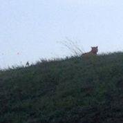 Pourquoi le « tigre de Seine-et-Marne » a de grandes chances d'être un gros chat