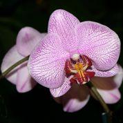 Phalænopsis