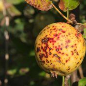 Compost: peut-on recycler les fruits et les feuilles tavelés?