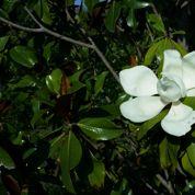Que faire contre le pourrissement du magnolia ?